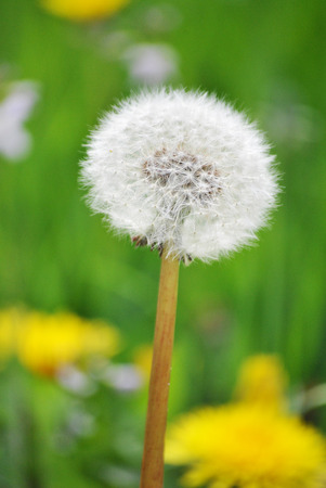 matiging: dandelion fluffs in the field