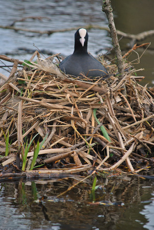 keep watch over: Bird on nest in the water