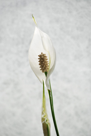 White indoor plant for decoration photo