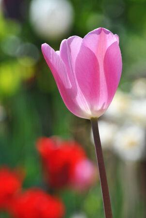 sauternes: Beautiful pink tulip