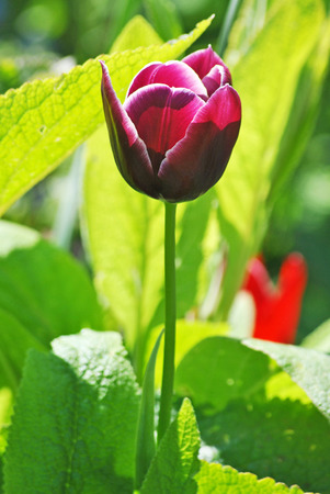 Beautiful deep purple tulip photo