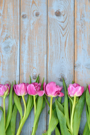 Row bunch of pink tulips on old gray blue gray wooden background with empty space photo