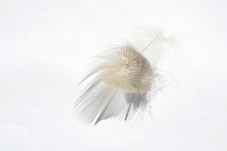 weightless: White background with light gray empty striped down feather with beautiful shadow, soft focus and empty copyspace Stock Photo