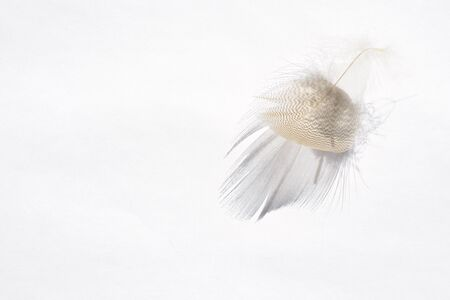 letting: White background with light gray empty striped down feather with beautiful shadow, soft focus Stock Photo