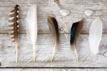bird feathers: Row of bird feathers on a old wooden shelves white gray background with sea shells beach Stock Photo