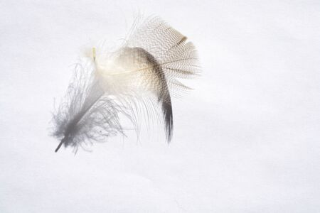 weightless: White background with light gray empty striped down feather with beautiful shadow, soft focus Stock Photo