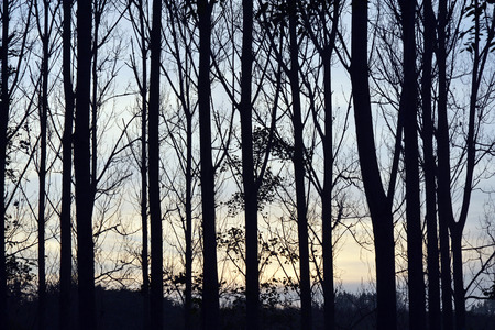 fall winter: Beautiful nature panorama black silhouette tree trunks in the autumn fall or winter season with a blue evening sky orange afternoon