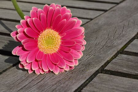 daisys: pink yellow gerbera daisy on gray old wooden shelves background with empty copyspace