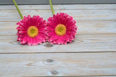 gerbera daisies: two pink yellow gerbera daisies in a border row on gray old wooden shelves background with empty copyspace Stock Photo