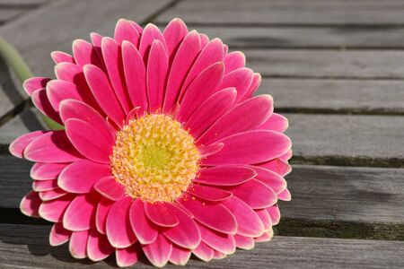 three shelves: three pink gerbera daisies on gray old wooden shelves background with empty copyspace