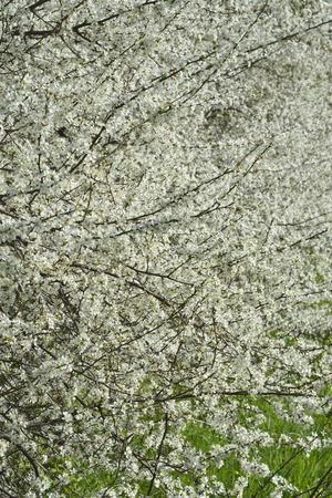 pyrus: Flowering white prunus blossom and pyrus in the spring season Stock Photo