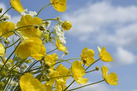 buttercups: buttercups and sky background