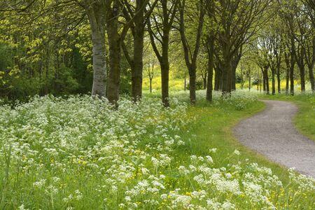 sentier au printemps avec des arbres et persil de vache dans le parc