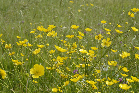 free vote: Close up of white daisies and yellow buttercups on grass with field flowers
