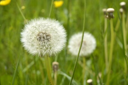 perishable: Close up of fluffy white dandelion in grass with field flowers