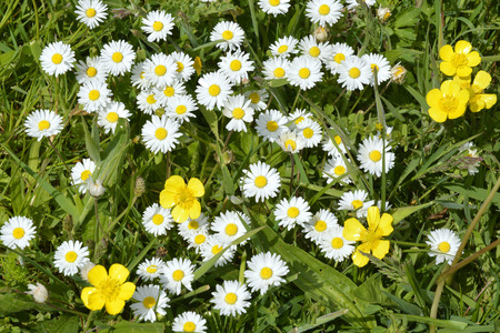 close up of white daisies and yellow buttercups on grass with