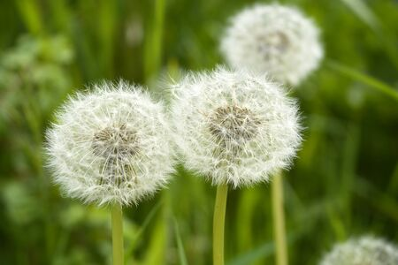 Close up of fluffy white dandelion in grass with field flowers