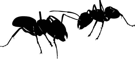 Two black ants's fighting on white background