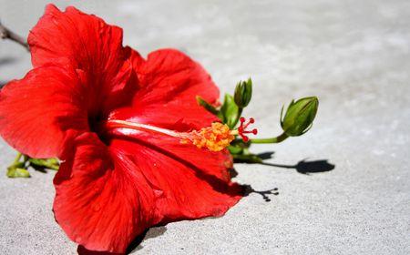 red Hibiscus flower Stock Photo - 5757860