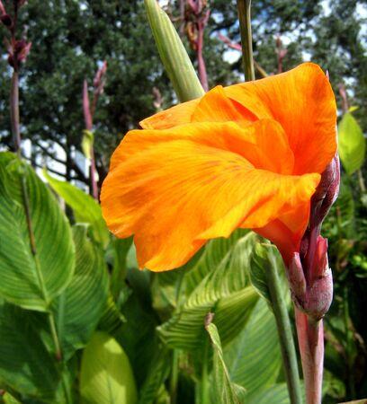 tropicana: Canna Tropicana flower Stock Photo