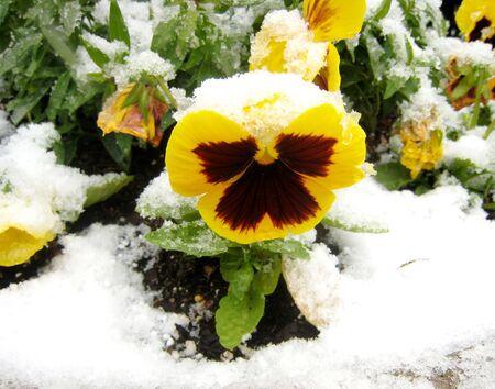 Yellow  pansy under snow Stock fotó