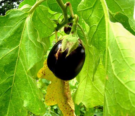 purple organic eggplant