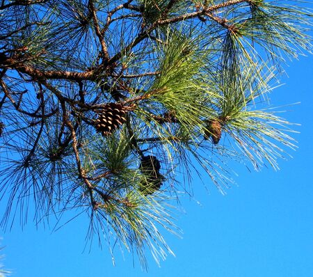 Branch of pine with cones Stock Photo - 6500621