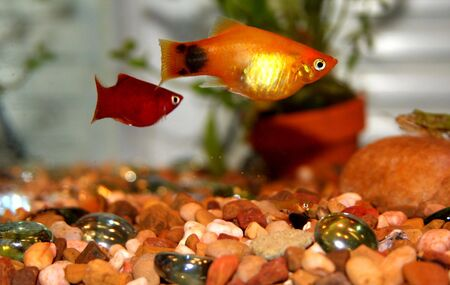 sailfin: Mickey Mouse Platy (Xiphophorus maculatus). livebearer Stock Photo