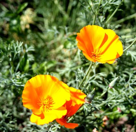 California poppy  Stock Photo - 7932776