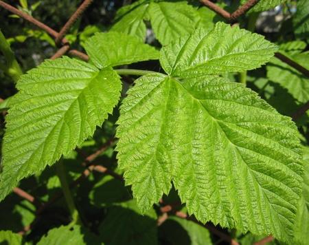 Raspberry leaf Stock Photo - 9079626