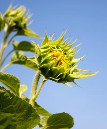yellow sunflower bud on blue sky Stock Photo - 9167565