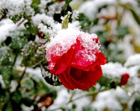 red rose under snow Stock Photo - 9167566