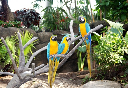 three colorful parrots are sitting on the branch of a tree Stock Photo - 11170157