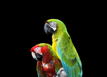 Two colorful macaw parrots isolated on black background. Stock Photo - 11170151