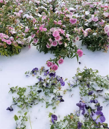 Frozen flowers under snow. Houston, Texas