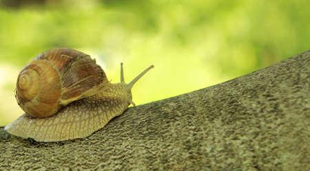 Closeup of big garden snail on old tree. photo