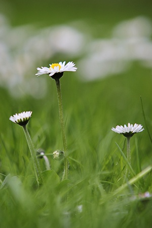Daisy flowers photo