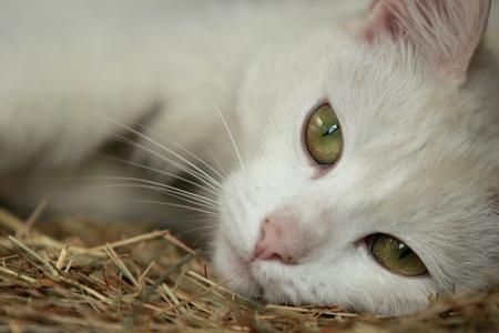 whiskar: White cat Stock Photo