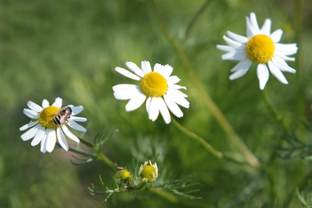 Three daisy in the grass photo