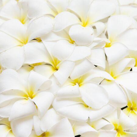 Frangipani flowers background Stock Photo