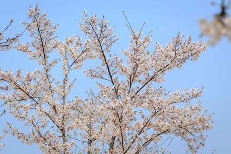 Shanghai Sakura, Chenshan Botanic Garden