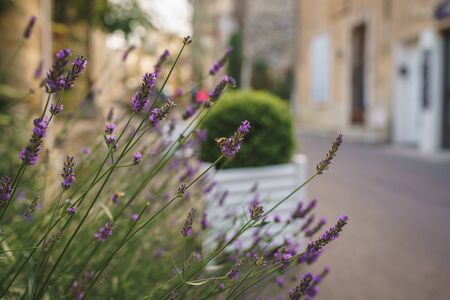Lavender in the flower beds in the streets of Provence, southern France 版權商用圖片
