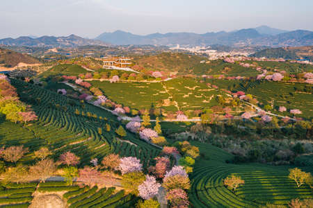 Aerial view of traditional Chinese tea garden, with blooming cherry trees on the tea mountain at dusk, in Yongfu cherry blossom garden in Longyan, Fujian, China Imagens