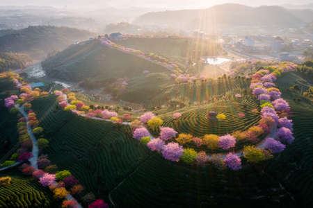 Aerial view of traditional Chinese tea garden, with blooming cherry trees on the tea mountain during the sunrise, in Yongfu cherry blossom garden in Longyan, Fujian, China Imagens
