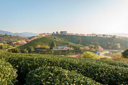 Sunrise landscapes in a traditional Chinese tea garden, with blooming cherry trees on the tea mountain, in Longyan, Fujian, China