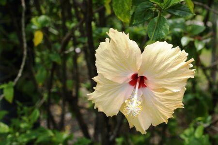 rosemallow: bianco Chaba Archivio Fotografico