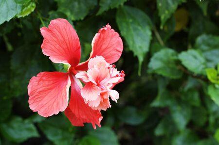 rosemallow: pink flowers