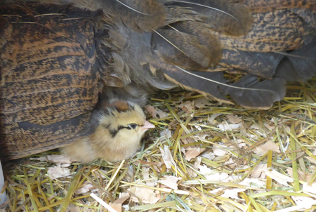 Easter egger chick is hiding under the hen wing