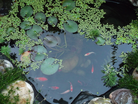 Small goldfish in the pond Stock Photo
