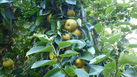 Asian pears on the tree Stock Photo
